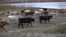 Нашествие коров на Ононе