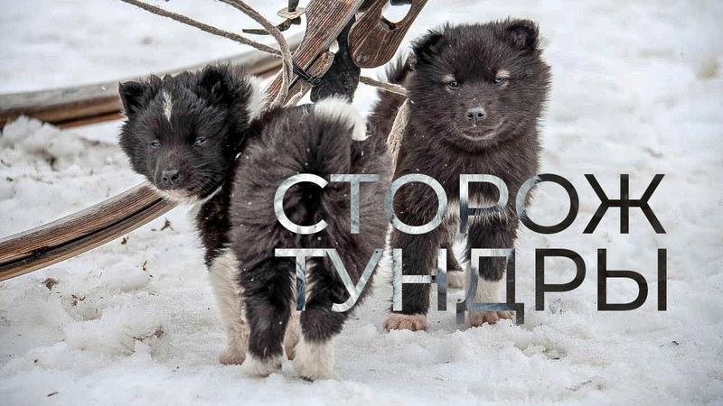 Ненецкие лайки охотники пастухи сторожа и даже няньки Оленегонный шпиц История породы Факты