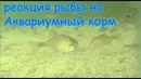 Реакция рыбы на Аквариумный корм Рыбалка Fishing angeln la pesca câu cá memancing wędkarstwo 钓鱼