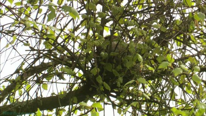 BBC Тайная жизнь птиц 2 Устройство гнезда Познавательный орнитология 2010