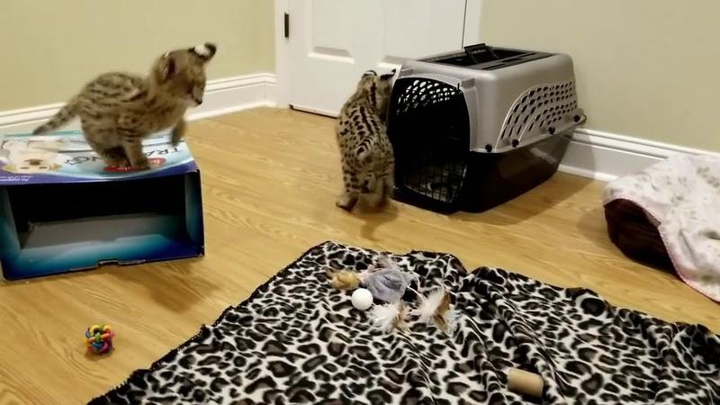 Котята сервал домашние играются Сервал видео