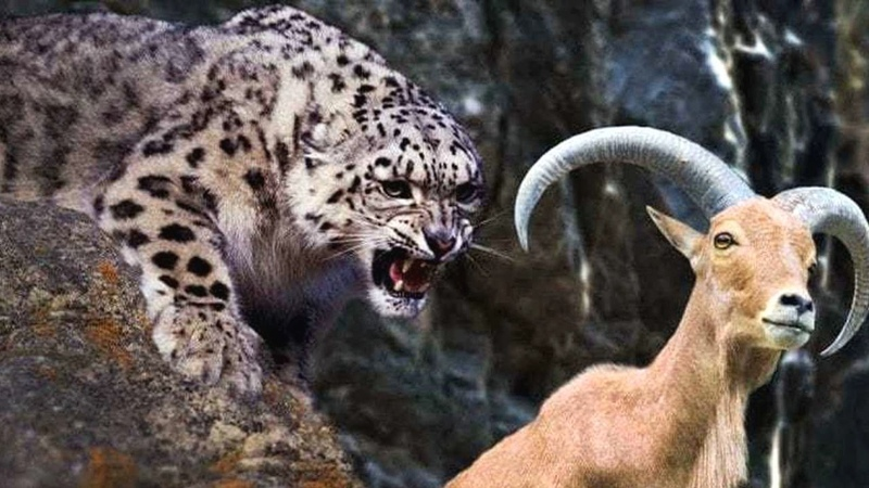 СНЕЖНЫЙ БАРС В ДЕЛЕ Барс против рогатых горных козлов и даже яков