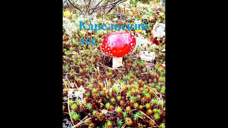 Карельский лес. Осень 2020. Выход по грибы, по ягоды и не только.