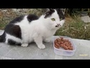 Little cat with a short tail ate with great appetite