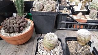 Коллекция кактусов.Метод укоренения  кактуса.Как снять кактус с подвоя?Cacteen