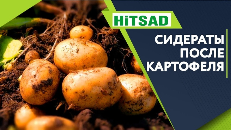 Какой СИДЕРАТ Посадить После Картофеля ✔️ Что посадить когда выкопали картошку ✔️