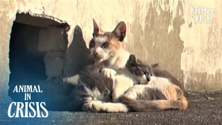 Cat Never Gives Up Her Disabled Child Who Can't Walk On The Rooftop   Animal in Crisis EP187
