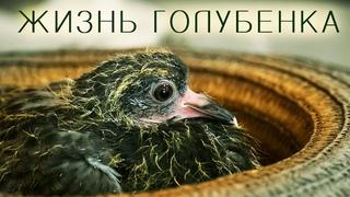 Трогательная история жизни голубенка с 1 дня до полета - удивительное видео, редкие моменты