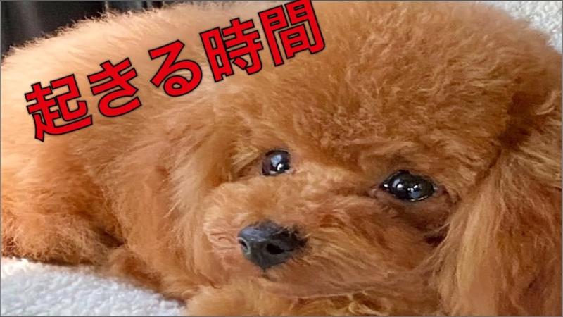 朝起きたら 愛犬の寝相 宇野昌磨 フィギュアスケート トイプードル生活 宇野樹