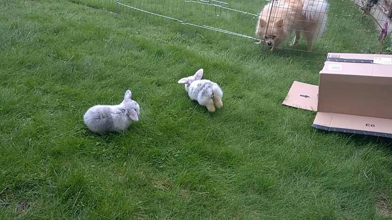 3 Week Old Baby Mini Lop Bunnies on the Grass for the First Time Sooo Cute