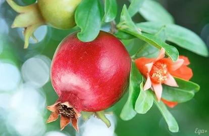 «Карфагенское» яблоко, изображение №2