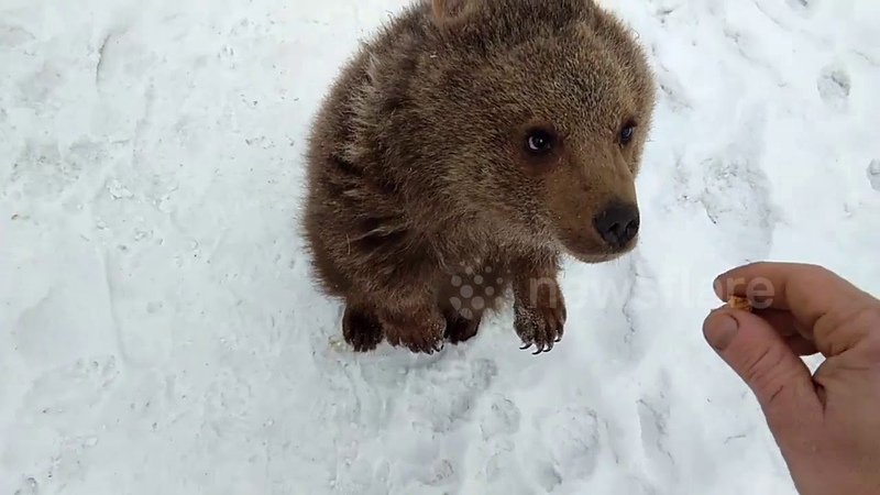 Russian family rescues bear cub from hunters