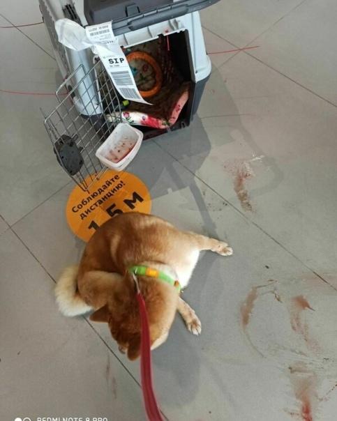При перевозке самолетом Аэрофлота пострадало очередное животное Одной из пассажирок пришлось сдать свою собаку в багажное отделение из-за её размера.Когда хозяйка получила своего питомца