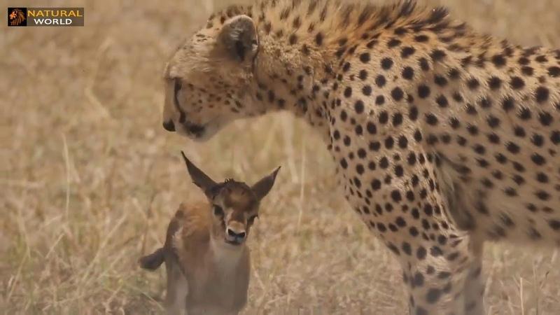 Vahşi Yırtıcılara Yakalanmış Yavru Hayvanlar - Leopar, Aslan, Çita, Yavru Ceylan, Bufalo, Domuz
