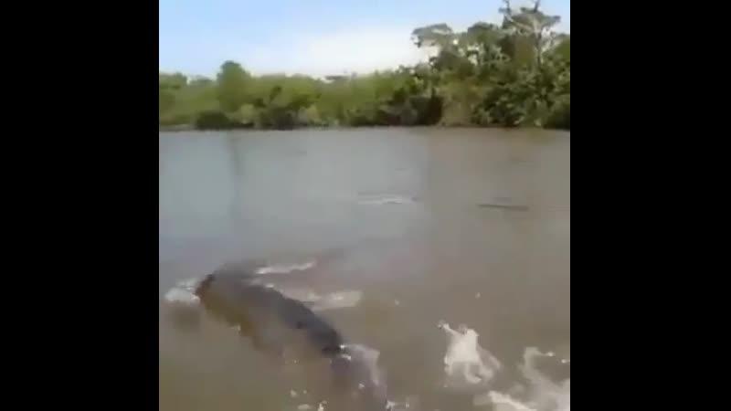 Большую часть жизни анаконды проводят в воде выбираясь на сушу лишь за добычей