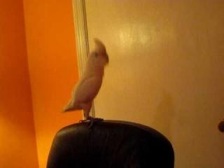 Попугай так офигенно танцует, ааа, очень понравлось! Танец под: Pitbull - Hey baby