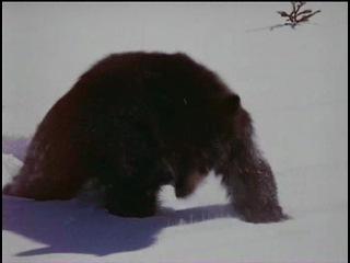 Дикий пес Севера (Nikki, Wild Dog of the North), 1961