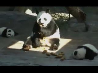 Видео, как мама-панда встретилась с детенышами, покорило Интернет