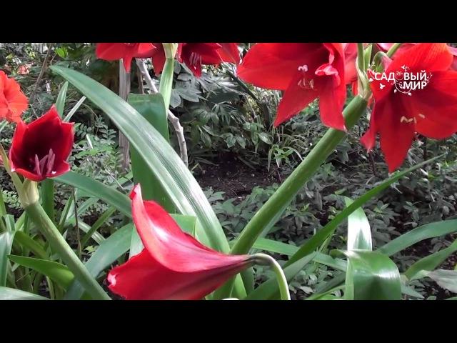 Как вырастить гиппеаструм или амариллис