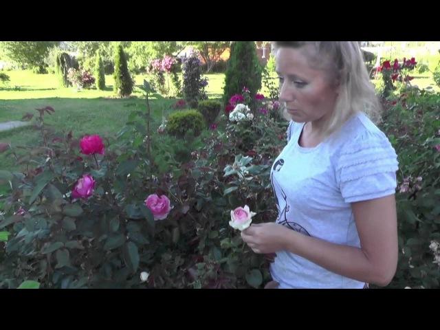 Цветущие Зимостойкие розы Питомник Роз Елены ИВАЩЕНКО