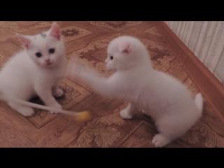 котятки шотландские (второй помет)