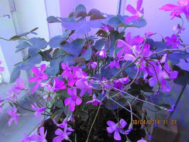 Кислица - Purple shamrock