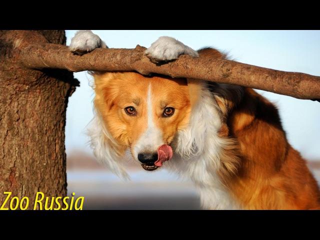 Собака любит лазить по деревьям за кошками ZooRussia