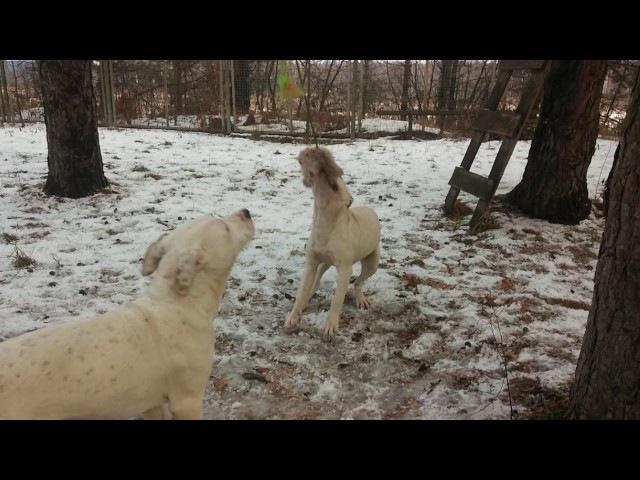 27 ноября 2016 г. Пит-бульдоги от Хана и Беллы