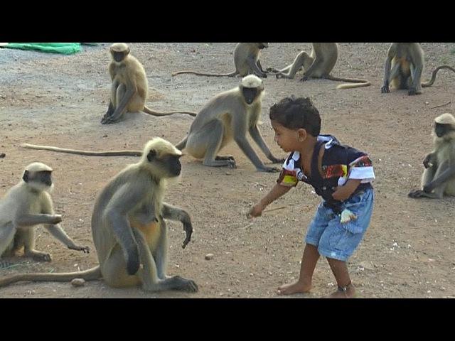 Необычная дружба малыш индиец и дикие обезьяны не разлей вода новости