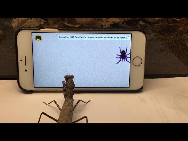Praying mantis watching TV