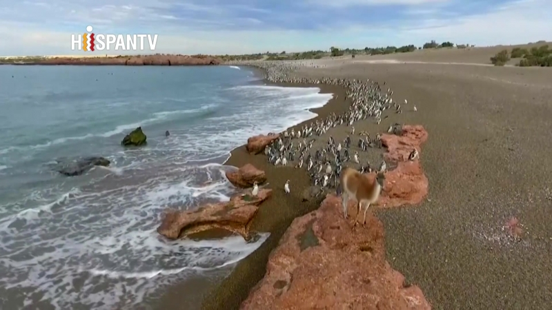 Cientos de miles de pingüinos ofrecen un espectáculo natural en Punta Tombo