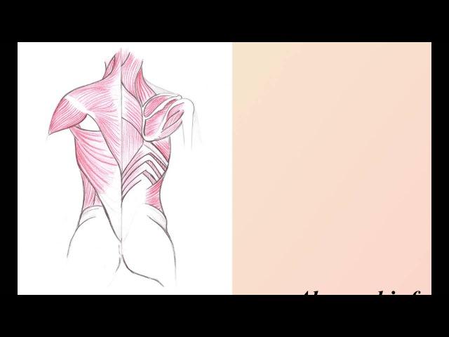 Мышцы спины. Трапециевидная, широчайшая мышца спины.
