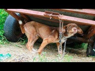 Хозяин привязал пса к заброшенному прицепу и оставил умирать...