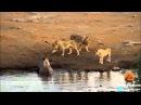 3 leões vs rinoceronte luta pela sobrevivência