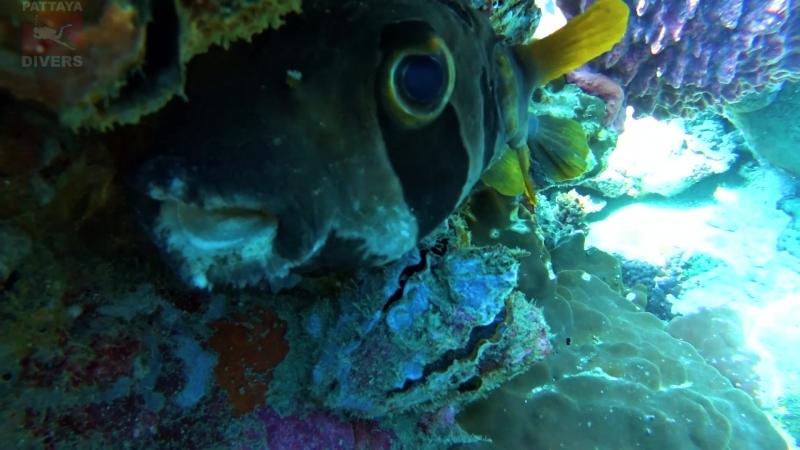 Рыба-ёж прячется под скалой Хин-Лак-Бат   Дайвинг на Ко-Чанге, Таиланд