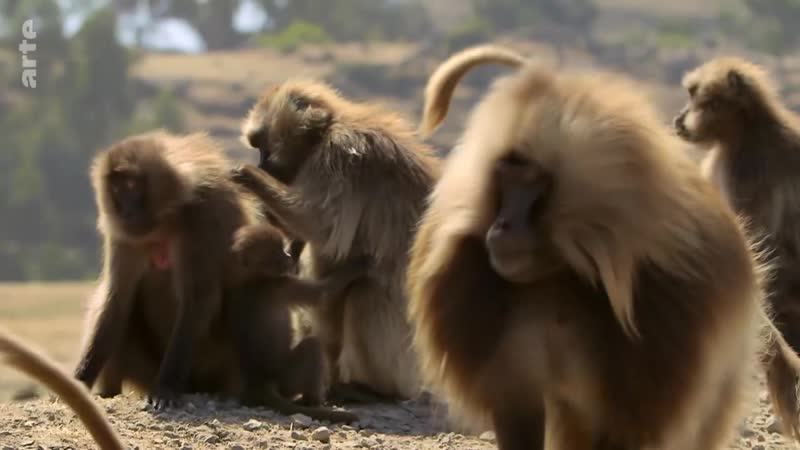 360° Géo Ethiopie la guerre des singes ARTE