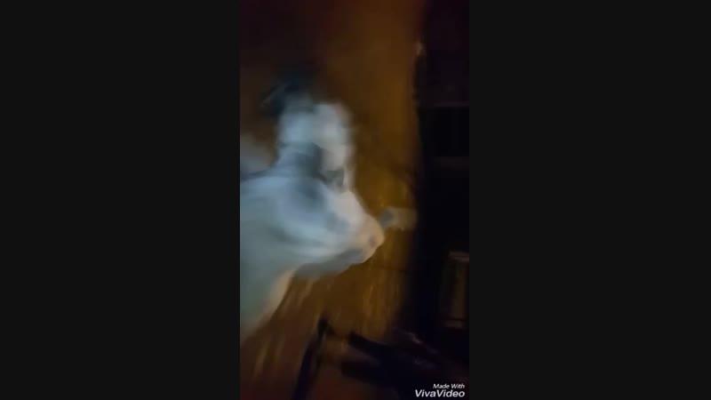 Erzurumdan 23 Aylik Tekci Mavzer vs Sari Berezlerden Aslan 19 Aylik