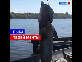 В Приамурье местные жители поймали крупнейшую калугу  Россия 1