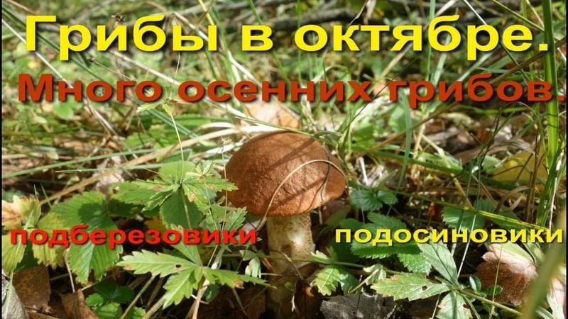 Грибы в октябре Много осенних грибов Подберезовики подосиновики