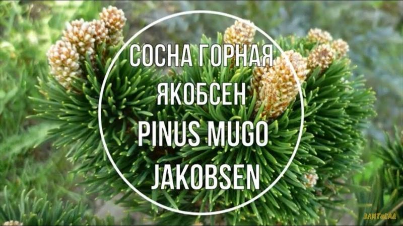 Сосна горная Якобсен Pinus mugo Jakobsen Краткое описание сорта