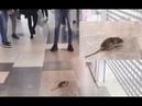 Огромная мышь в минском торговом центре Дана Молл