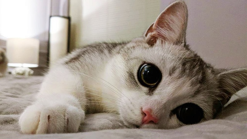 Meet Fomo The Adorable Munchkin Cat