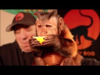 Capuchin Monkey Eats a Lemon!