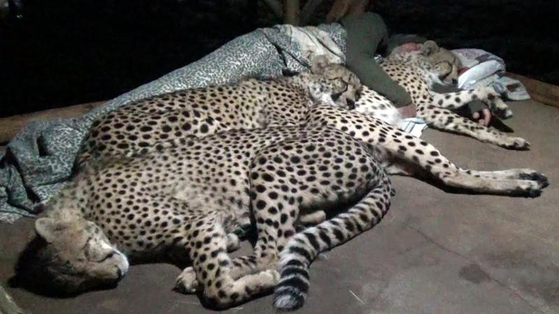 Do Cheetahs Prefer Cold Hard Concrete Or Warm Blankets Pillow A Friend Three BIG CAT Night