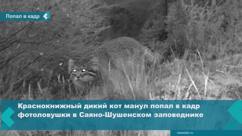 Фотоловушка зафиксировала редкого дикого кота в Красноярском крае