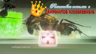 Старт колонии. Распаковка посылки с колонией тропических муравьёв Camponotus nicobarensis
