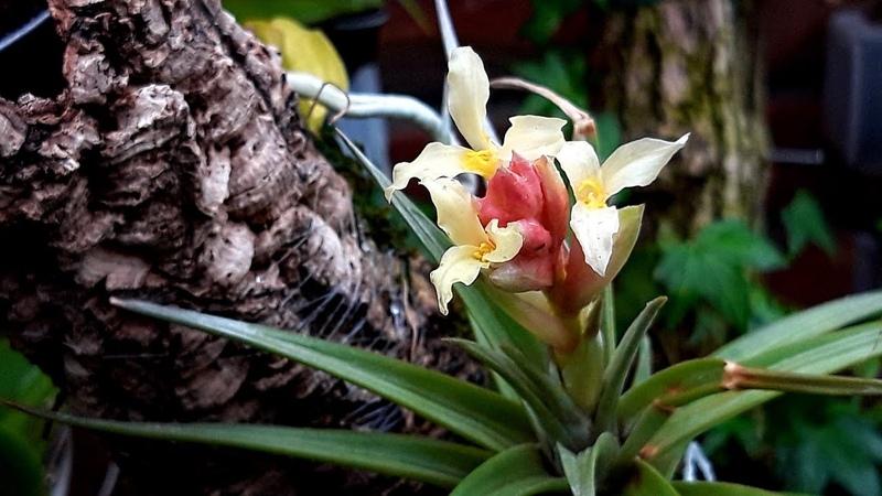ТИЛЛАНДСИЯ АТМОСФЕРНАЯ цветение и уход И как посадить лучше