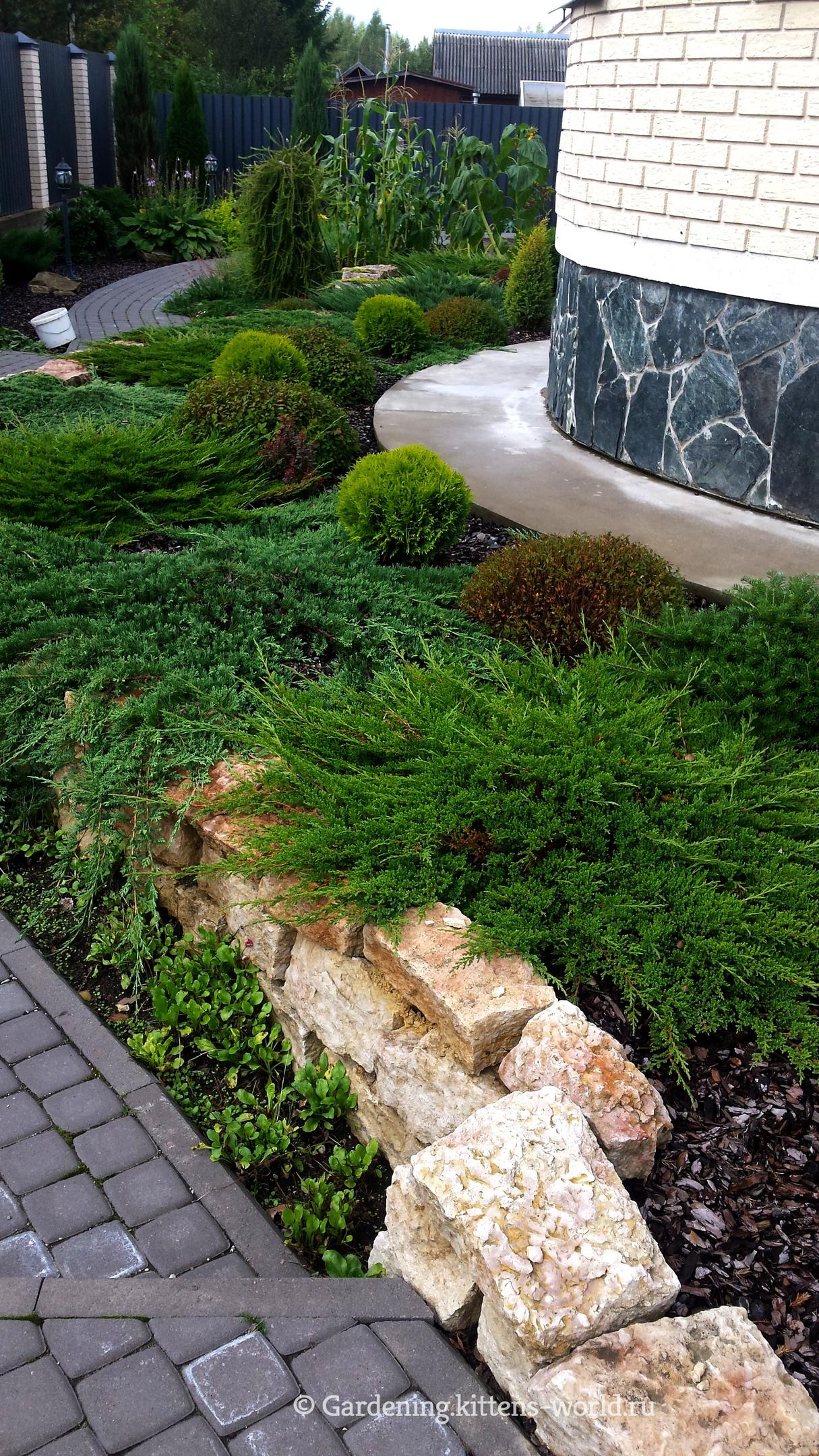 Хвойные растения на дачном участке