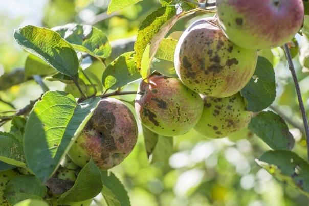 Парша на яблоне. Что делаем осенью.