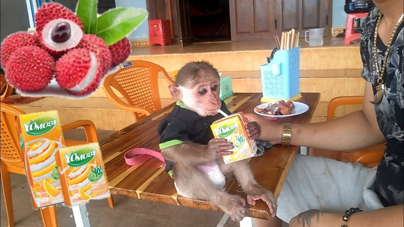 Monkey baby yoyo eating lychee fruit